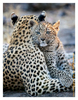 Precious Leopard Cub with  Mom, Chitabe Camp, Botswana July 2007