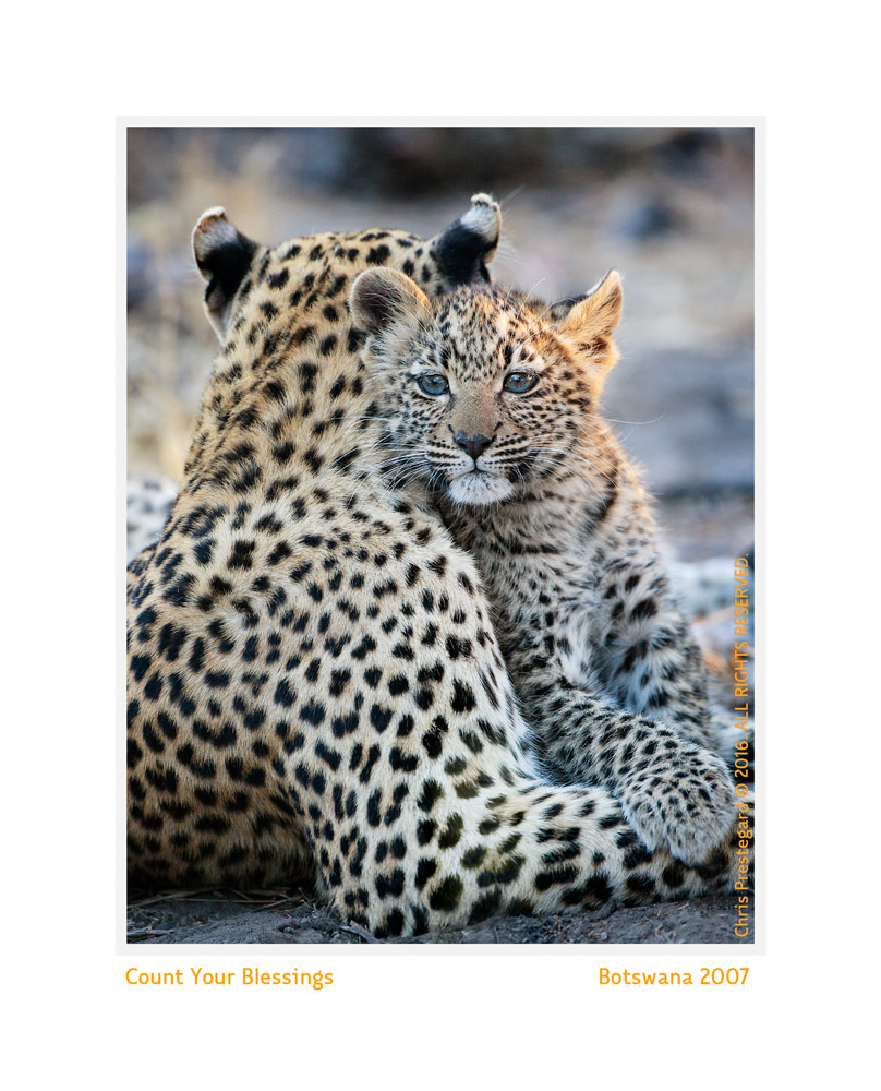 Precious Leopard Cub with  Mom, Chitabe Camp, Botswana July 2006