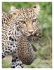 Leopards at Ndutu, Tanzania Feb. 2013