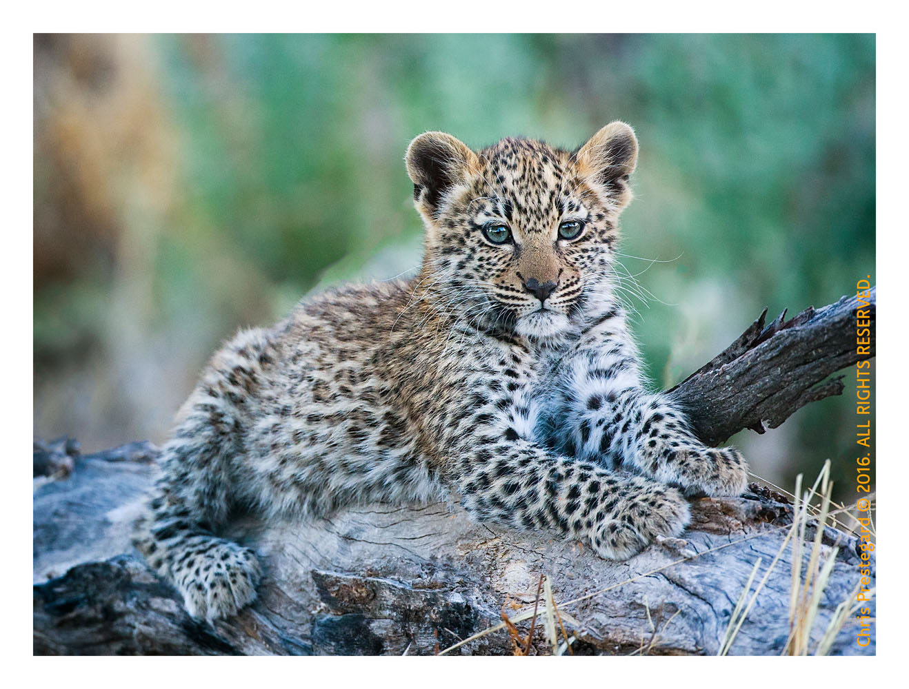 Sweet Leopard Cub, Chitabe Camp, Botswana July 2007
