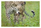 Leopard834B_Apr21-2011