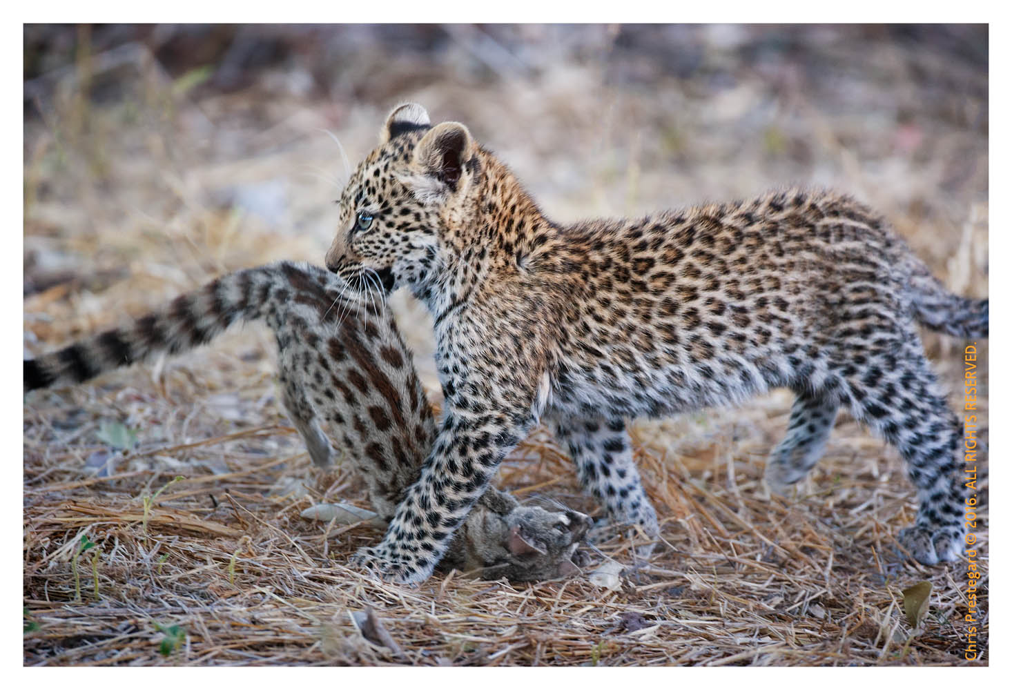 Leopard Cub Learning, Chitabe Camp, Botswana July 2007