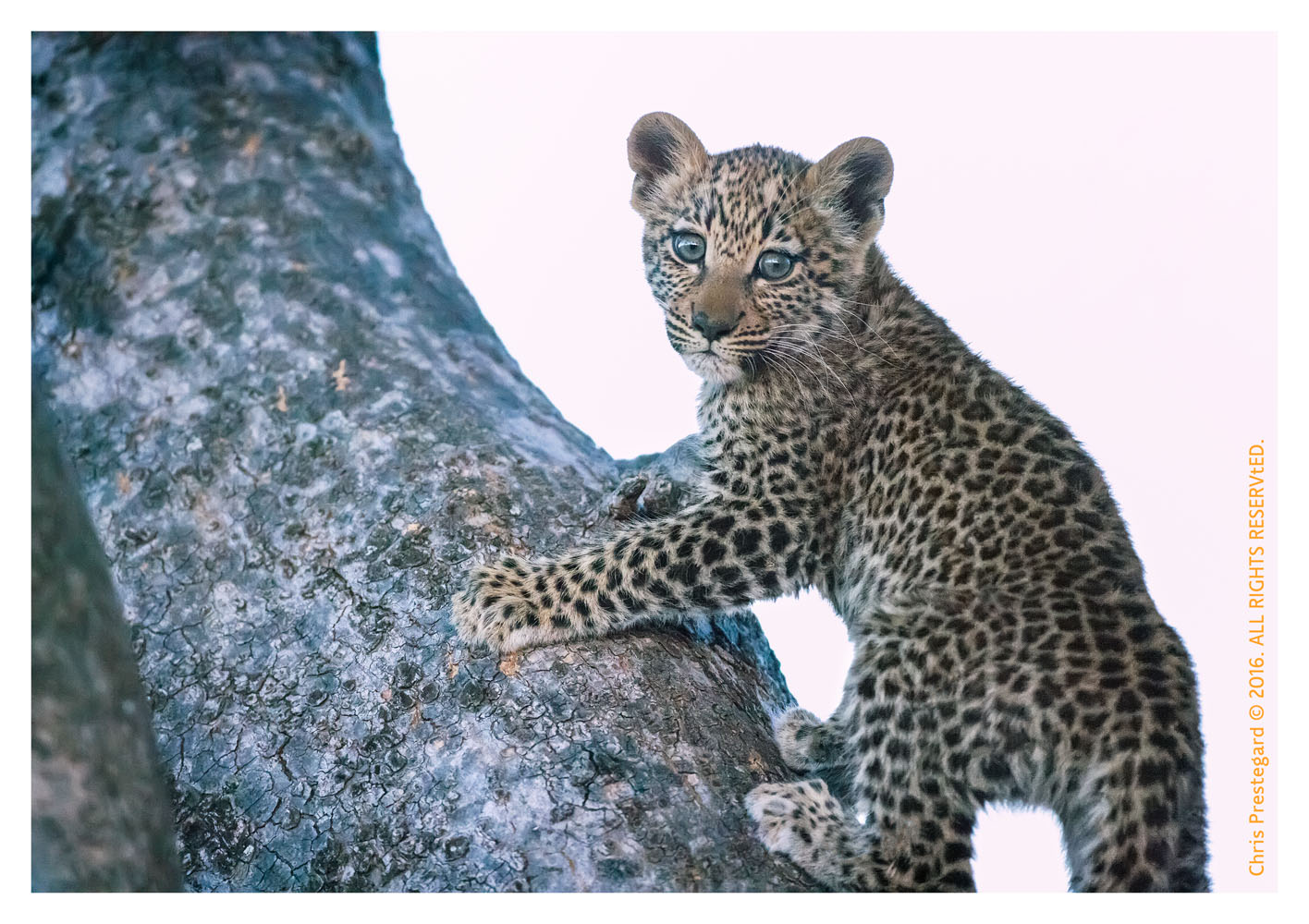 Leopard Cub in Tree, Chitabe Camp, Botswana July 2007