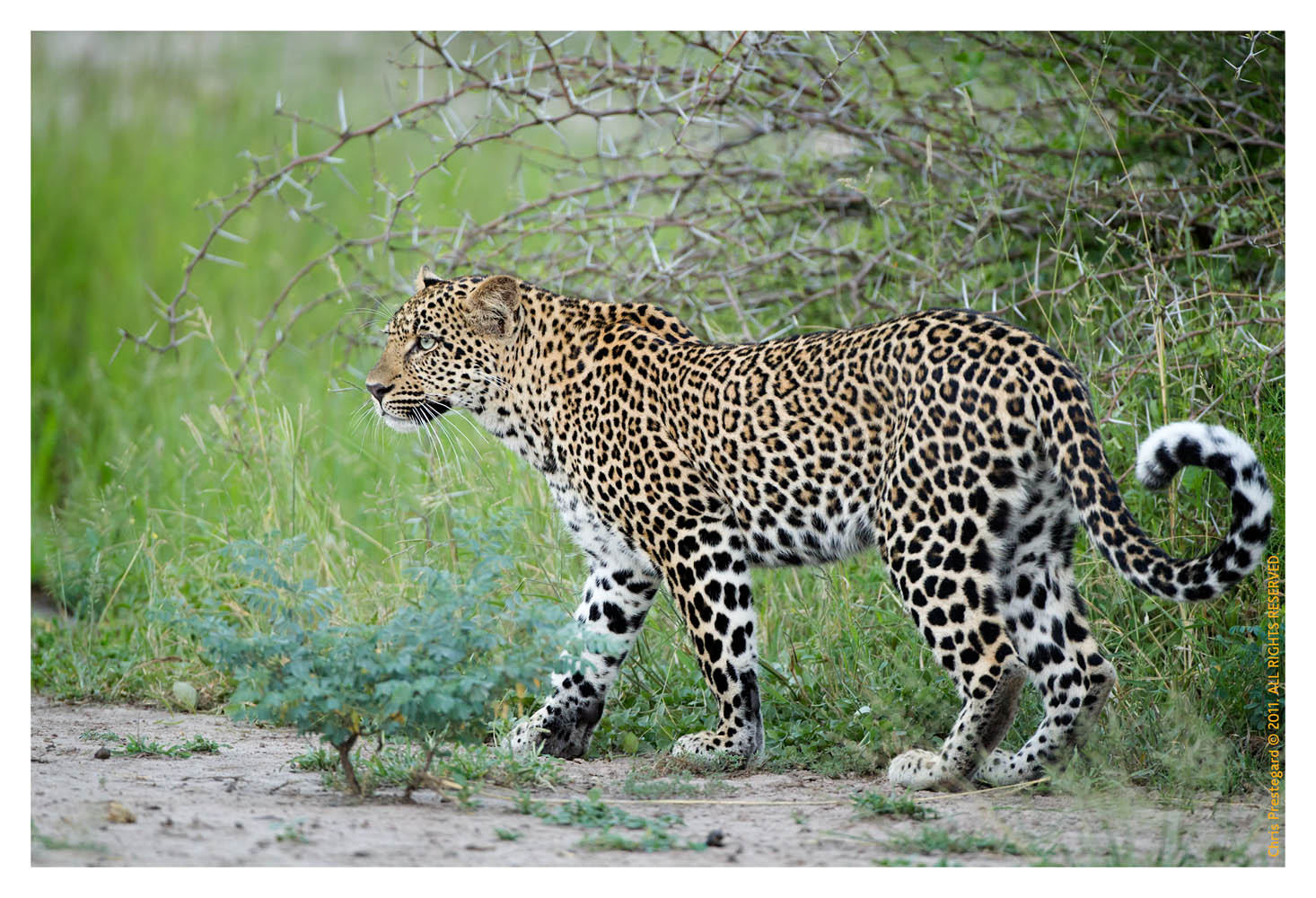 Leopard8823C_Apr21-2011