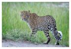 Leopard8848B_Apr21-2011
