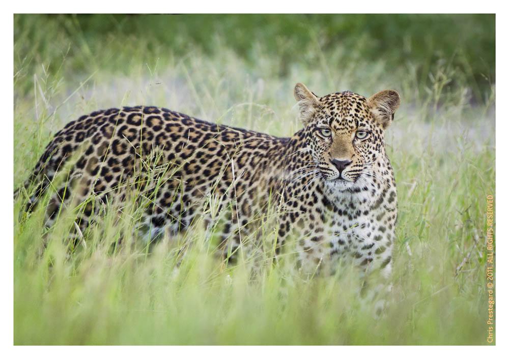 Leopard8871_Apr12-2011