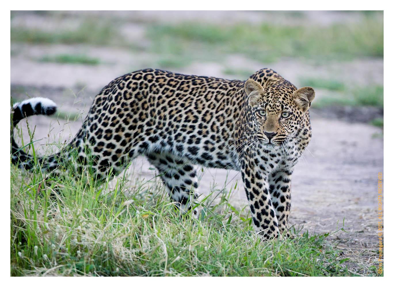 Leopard8912C_Apr21-2011