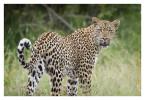Leopard9752_Apr12-2011