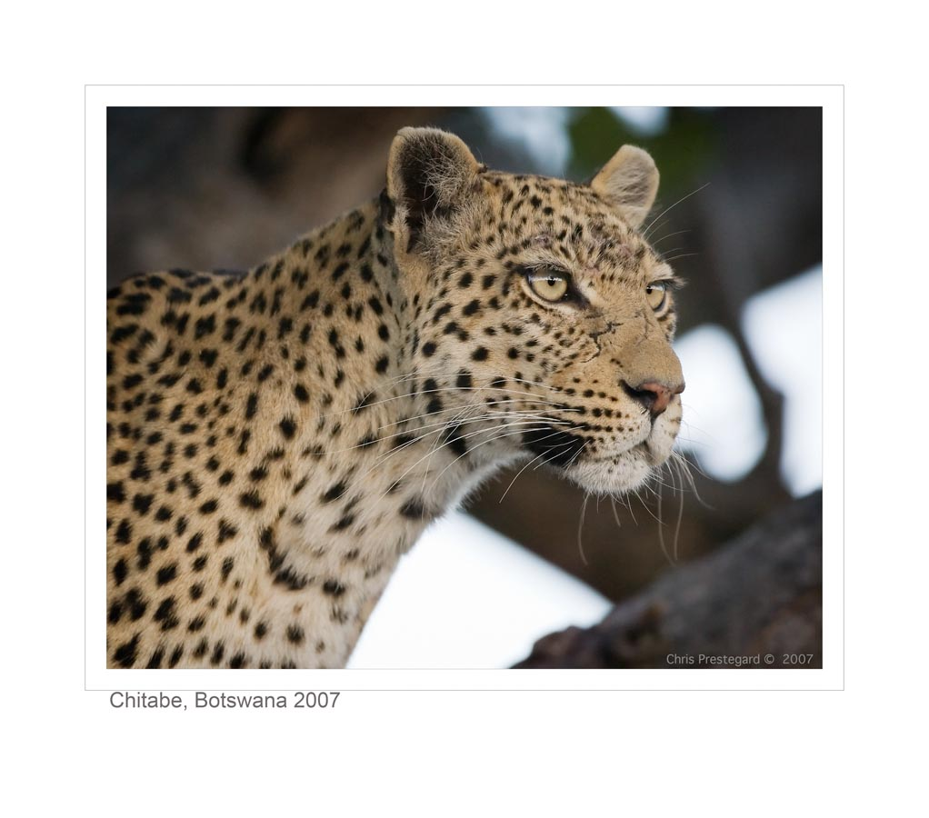 LeopardC875_9-15-07
