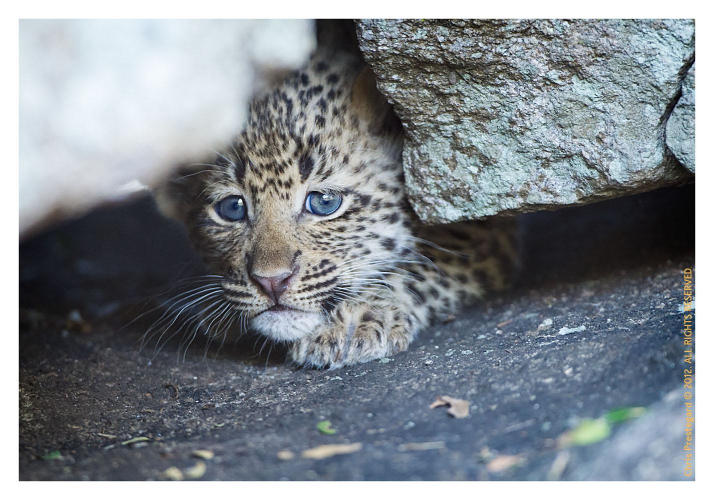 LeopardCub1536-Jul14-2012