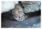 LeopardCub1536-Jul14-2012