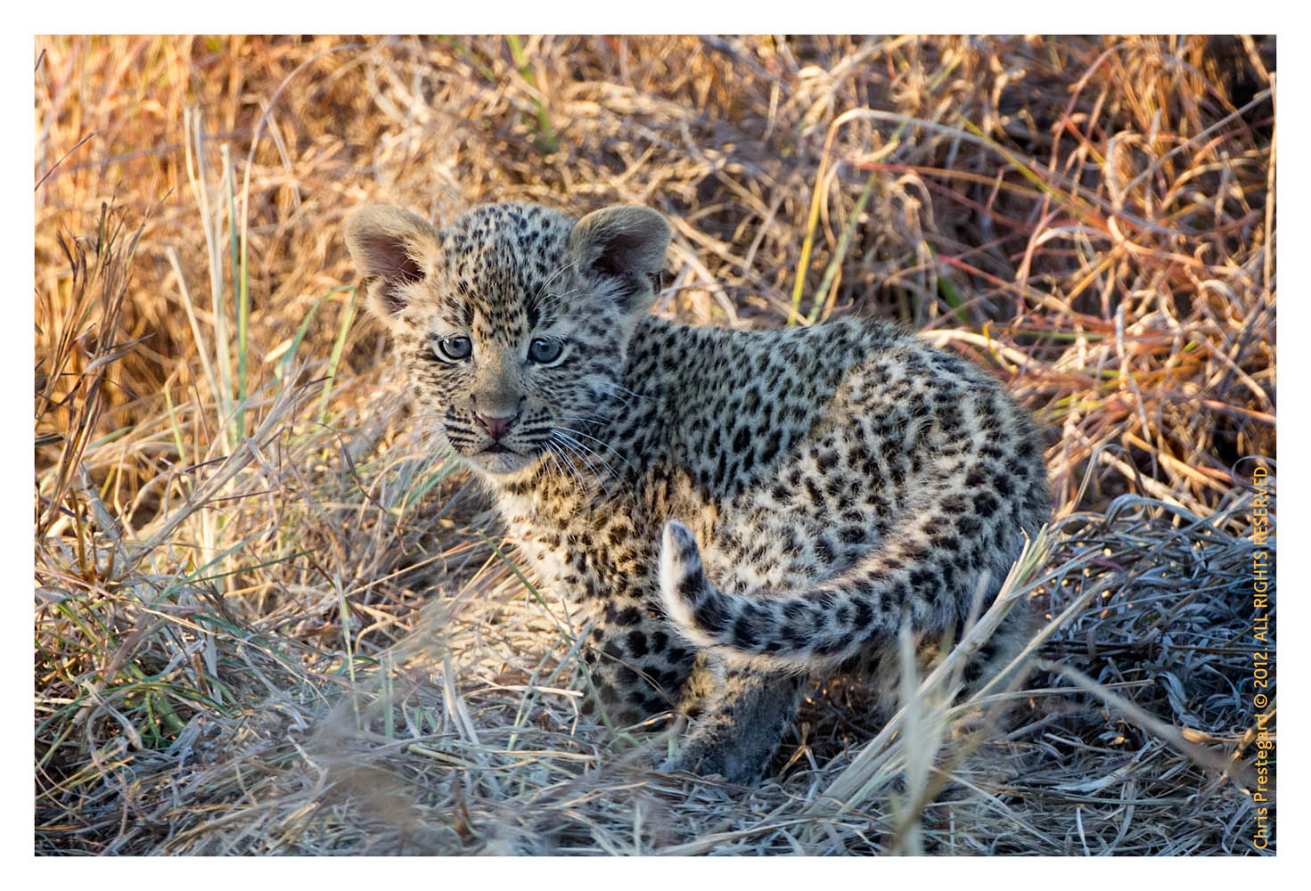 LeopardCub1687-Jul28-2012