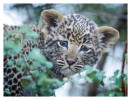 LeopardCub1938-Jul15-2012