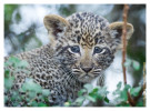 LeopardCub1952-Jul16-2012