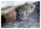 LeopardCub1968-Jul14-2012
