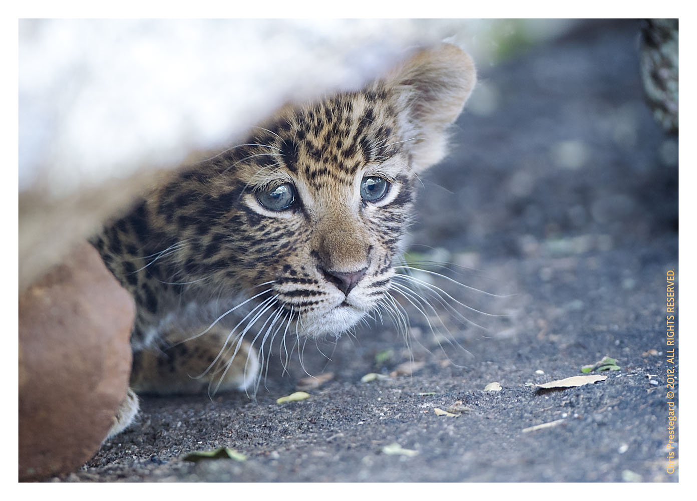 LeopardCub1976-Jul20-2012