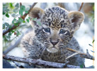 LeopardCub2015-Jul22b-2012