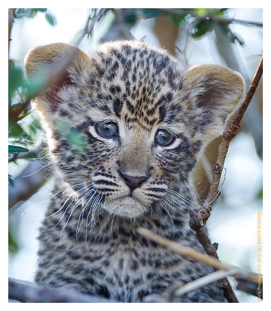 LeopardCub2058-Jul15-2012