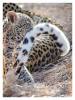 LeopardCub2575-Jul15-2012