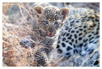 LeopardCub2771-Jul14-2012