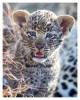 LeopardCub2796-Jan16-2013