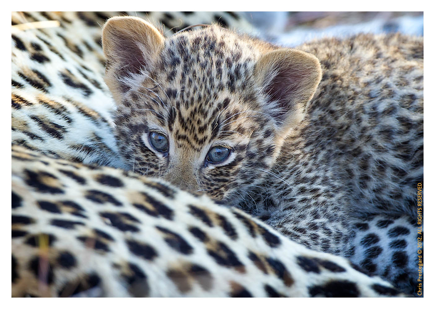 LeopardCub2952-Jul14-2012