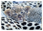LeopardCub2977-Jul16-2012