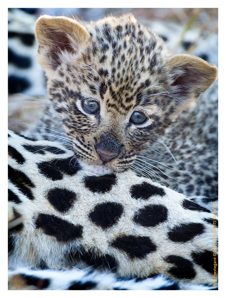 LeopardCub3066-Jul15-2012