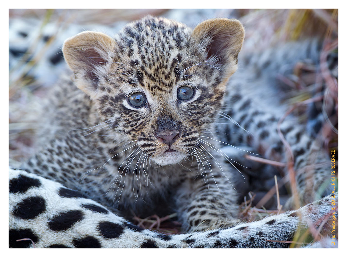 LeopardCub3088-Jul21-2012