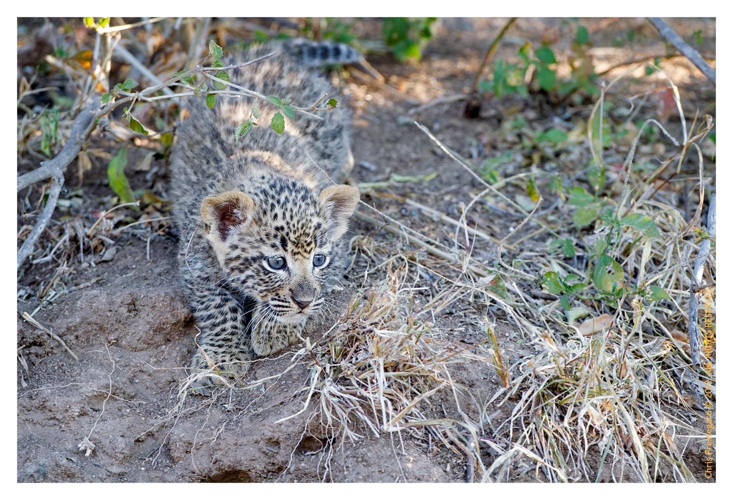 LeopardCub3248-Jul30-2012