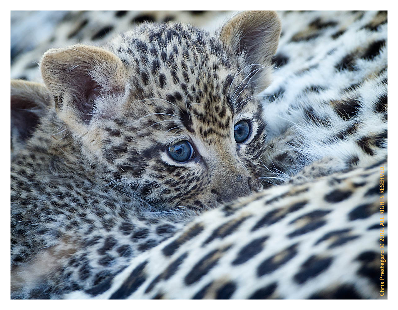 LeopardCub3424-Jul22-2012