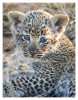 LeopardCub3461-Jul16-2012