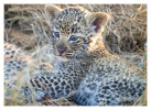 LeopardCub3465-Jul15-2012