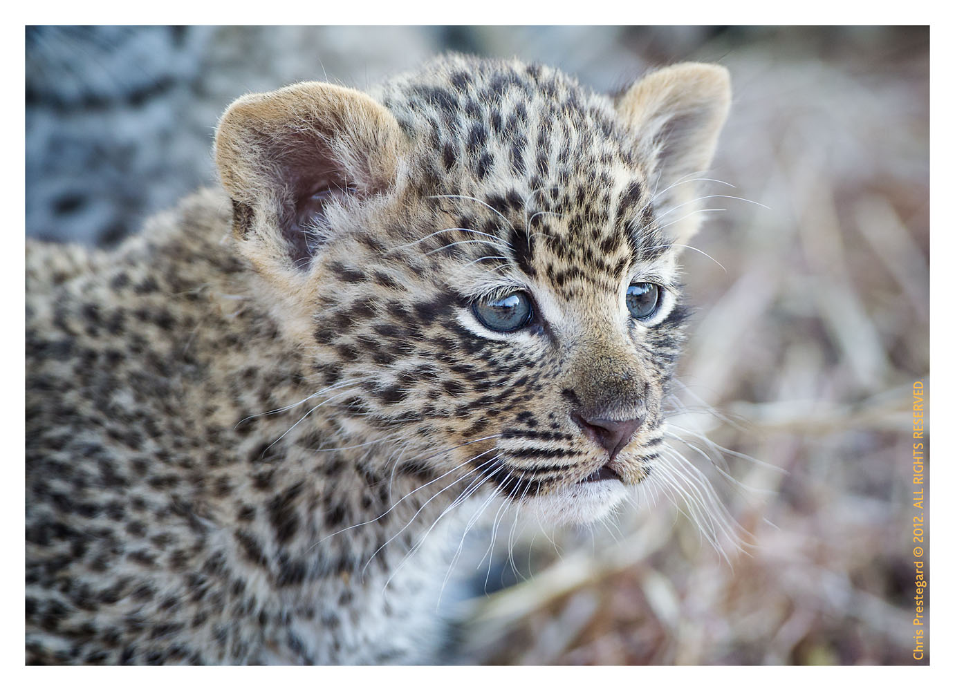LeopardCub3567-_Jul27-20102