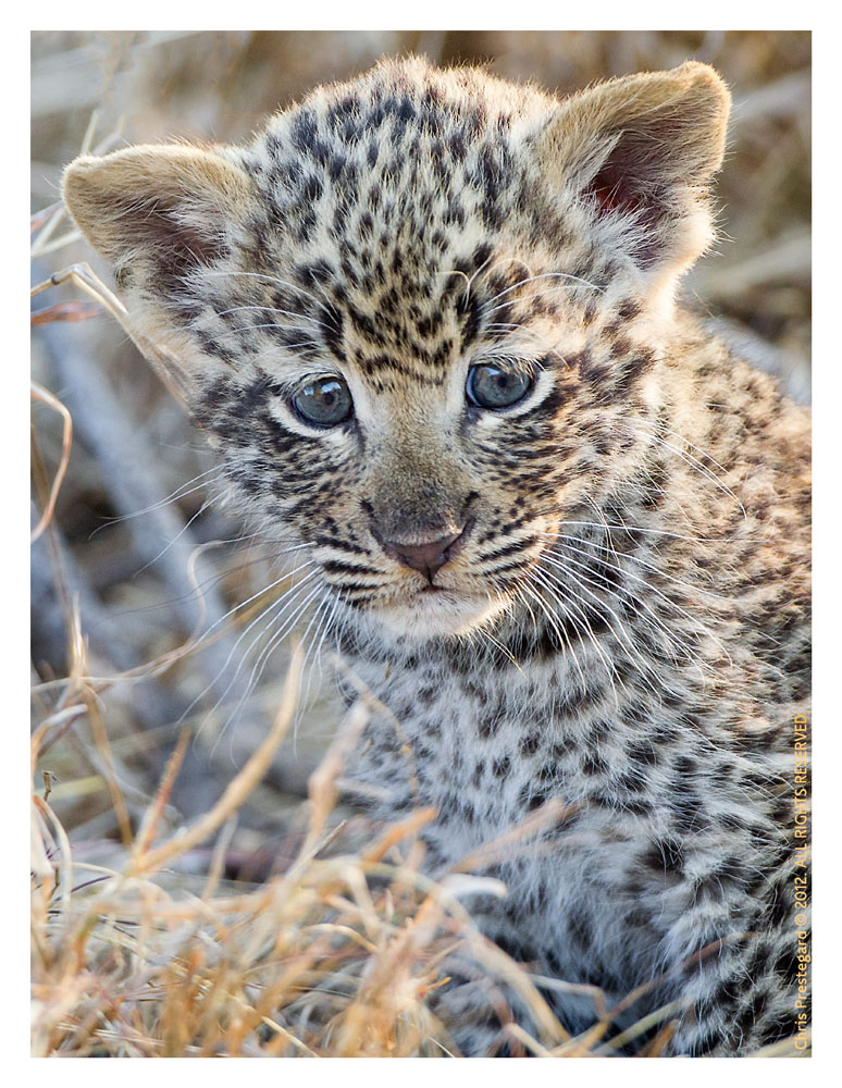 LeopardCub3577-Oct7-2012
