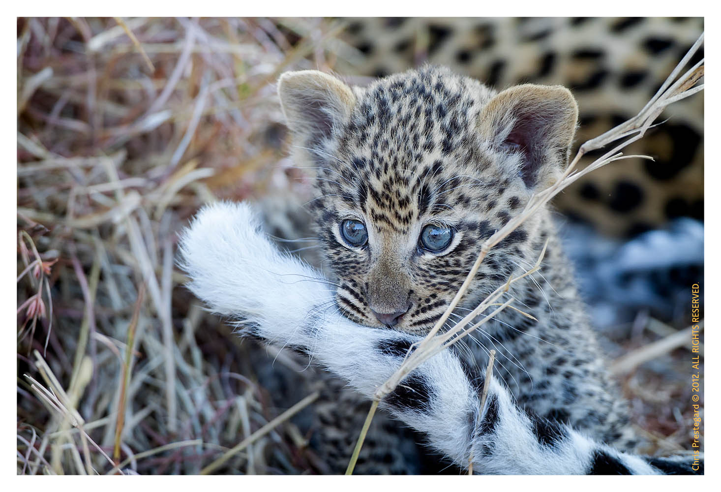 LeopardCub3610-Jul21-2012