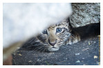 LeopardCub3664-Jul21-2012