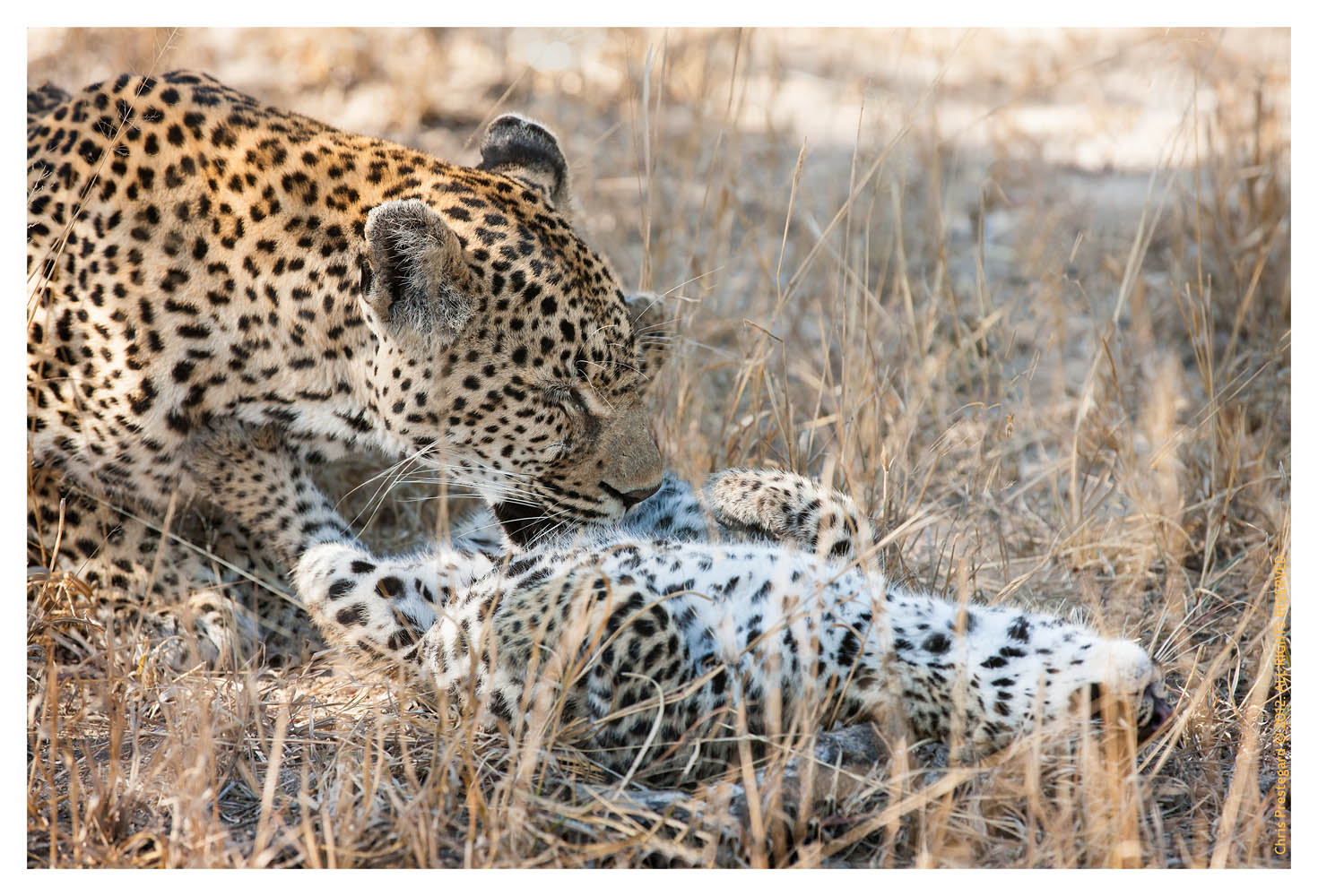 LeopardCub3857-Sept3-2012