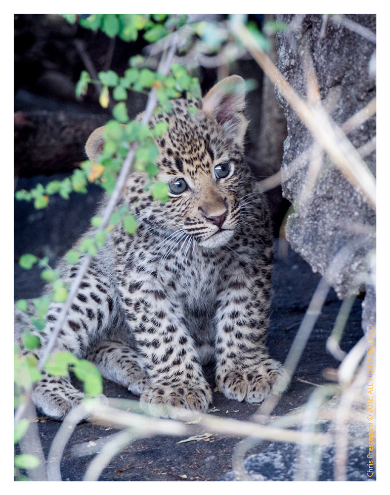 LeopardCub3912-Jul28-2012