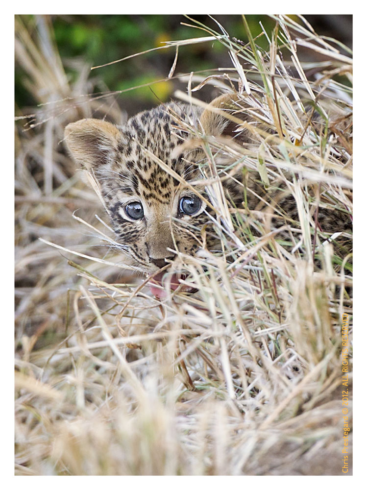 LeopardCub3929-Jul20-2012