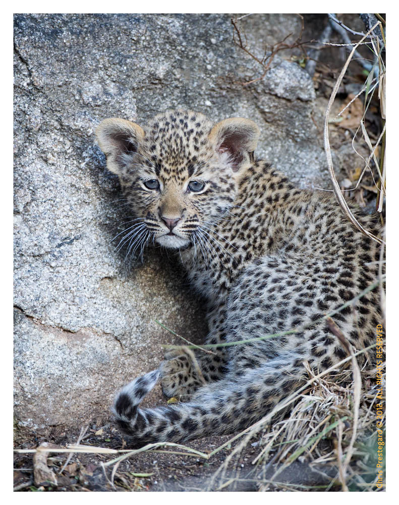 LeopardCub4067-Jul16-2012