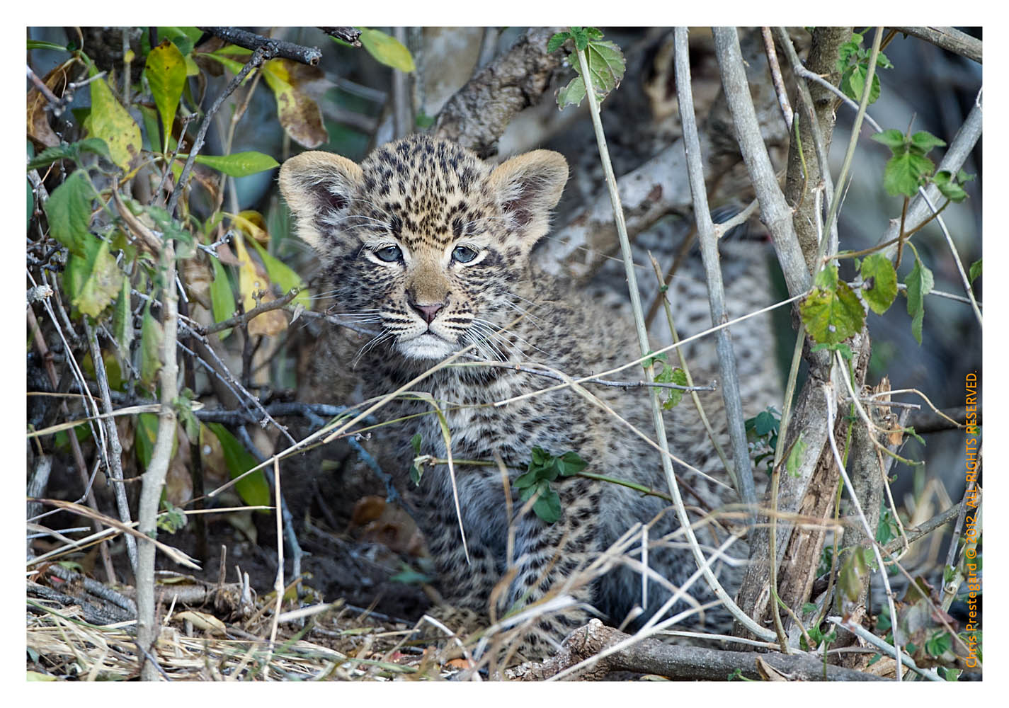 LeopardCub4092-Jul21-2012