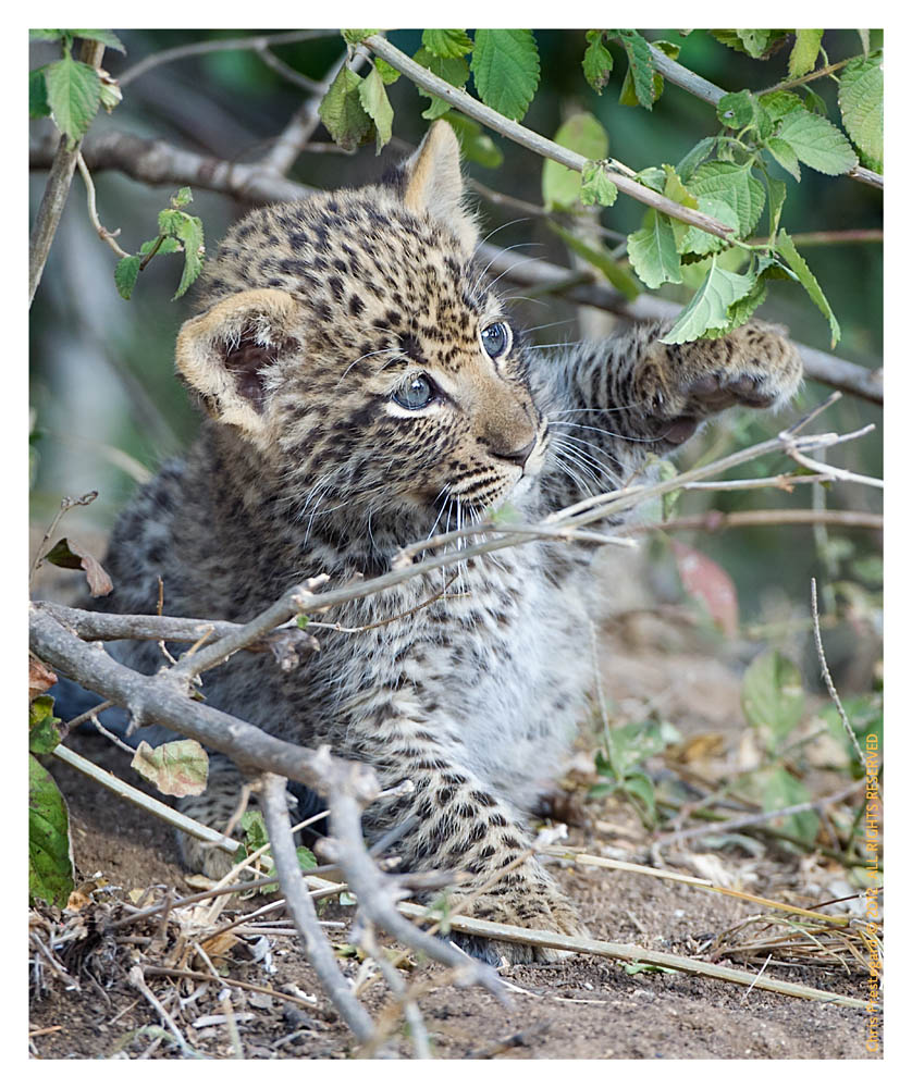 LeopardCub4130-Jul15-2012