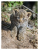 LeopardCub4353-Aug22-2012
