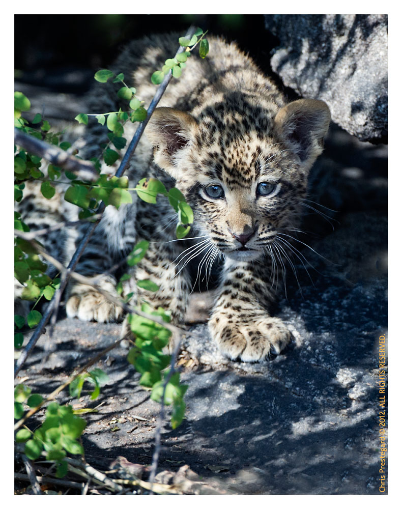 LeopardCub5108-Sept3-2012