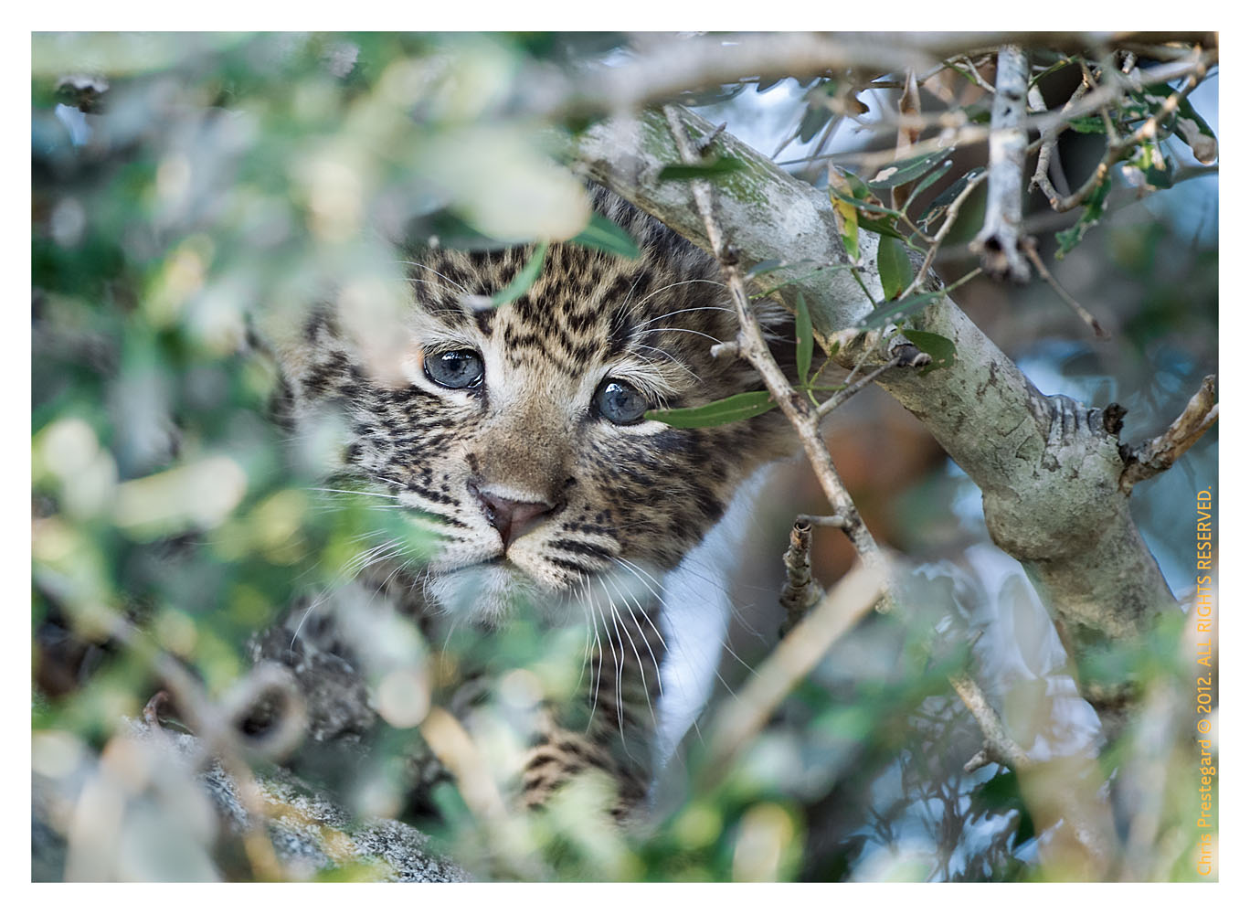 LeopardCub596-Jul21-2012