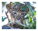 Leopard Cub, South Africa July 2012