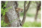 LeopardCub6759-Oct4-2013