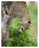 LeopardCub6788-Oct3-2013
