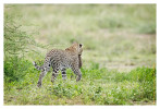 LeopardCub6849_Oct3-2013